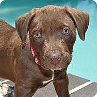 Adopt A Pet :: Cheeky - Houston, TX