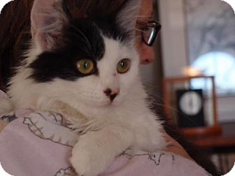 Domestic Longhair Cat for adoption in Knoxville, Tennessee - Liza Jane