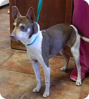 Rat Terrier Dog for adoption in Amarillo, Texas - Mazy