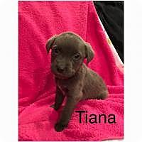 Adopt A Pet :: Tiana - Marlton, NJ