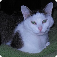 Domestic Shorthair Cat for adoption in Whiting, Indiana - Tommy Hawk