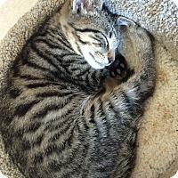 Adopt A Pet :: Michonne - Island Park, NY