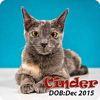 Domestic Shorthair Cat for adoption in Chandler, Arizona - Cinder