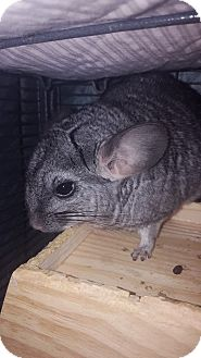 Chinchilla for adoption in Patchogue, New York - Donkey