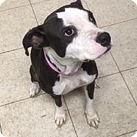 Terrier (Unknown Type, Medium)/American Pit Bull Terrier Mix Dog for adoption in Fulton, Missouri - Bereet- Ohio
