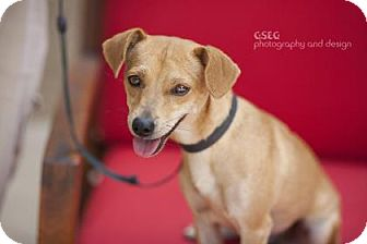 Chihuahua Mix Dog for adoption in Dallas, Texas - Layla