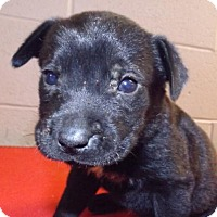 Labrador Retriever Mix Puppy for adoption in Oxford, Mississippi - Clara