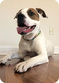 American Bulldog/Pit Bull Terrier Mix Dog for adoption in Baltimore, Maryland - Reptar (COURTESY POST)