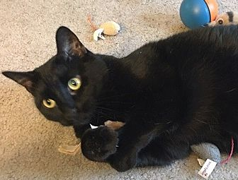 Domestic Shorthair Cat for adoption in Naperville, Illinois - Jasmine-CATNIP, BIRDS, & YOU!