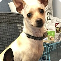 Adopt A Pet :: Paul Anka - Las Vegas, NV