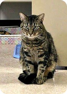 Domestic Shorthair Cat for adoption in Chesapeake, Virginia - Jingle