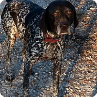 German Shorthaired Pointer Dog for adoption in New Smyrna beach, Florida - Isabelle