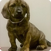 Shepherd (Unknown Type)/Blue Heeler Mix Puppy for adoption in Shorewood, Illinois - Freddy