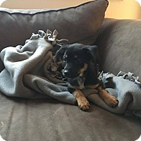 Beagle/Dachshund Mix Puppy for adoption in Denver, Colorado - Cleo