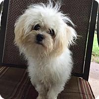Adopt A Pet :: Cotton - Sacramento, CA