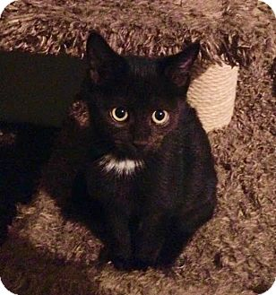 Domestic Shorthair Kitten for adoption in Mooresville, North Carolina - A..  Kera