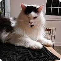 Domestic Longhair Cat for adoption in Kennesaw, Georgia - Royal