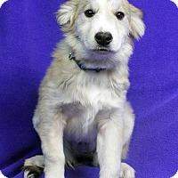 Adopt A Pet :: MINDY - Westminster, CO