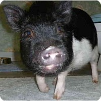 Adopt A Pet :: Charley - Las Vegas, NV