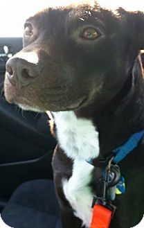 Labrador Retriever Mix Dog for adoption in Birmingham, Michigan - WYATT- NEEDS FOSTER