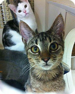 Bengal Kitten for adoption in Riverside, California - Ferris
