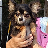 Adopt A Pet :: Velvet - Crump, TN