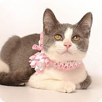 Domestic Shorthair Cat for adoption in Wyandotte, Michigan - Keira