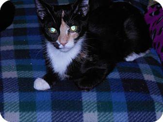 Calico Kitten for adoption in Darby, Pennsylvania - Athenav