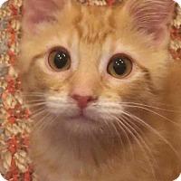 Adopt A Pet :: Twinkie - DFW Metroplex, TX