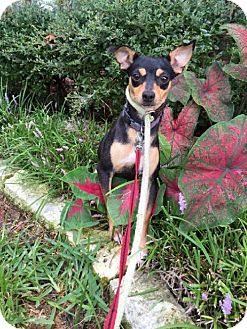 Chihuahua Dog for adoption in Denison, Texas - V C