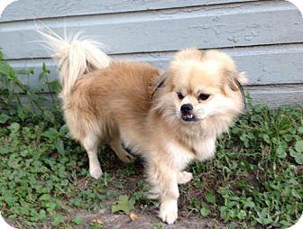 Pekingese Mix Dog for adoption in Inver Grove, Minnesota - Mr. 'Bo' Bojangles