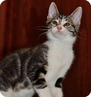 Domestic Shorthair Kitten for adoption in La Canada Flintridge, California - Kitten B