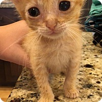 Domestic Shorthair Kitten for adoption in Windsor, Connecticut - Lucious