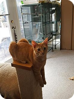 Domestic Shorthair Cat for adoption in Harrisburg, Pennsylvania - Little Red (teenage male)