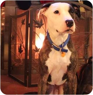 American Pit Bull Terrier Mix Dog for adoption in Staatsburg, New York - Petey - Crosspost