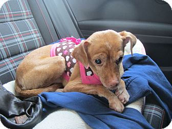 Chihuahua/Whippet Mix Dog for adoption in Warwick, New York - Pumpkin - adoption pending