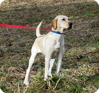 Labrador Retriever Dog for adoption in Morgantown, West Virginia - Heidi