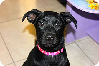 Labrador Retriever/German Shepherd Dog Mix Puppy for adoption in Miami, Florida - Star