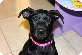 Labrador Retriever/German Shepherd Dog Mix Puppy for adoption in Miami, Florida - Star