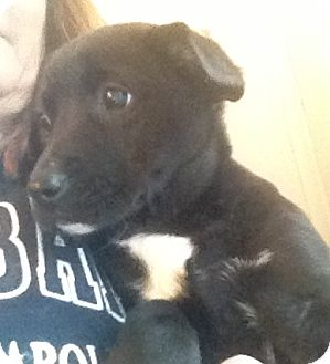 Labrador Retriever Mix Puppy for adoption in Richmond, Virginia - Piper