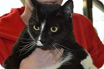 Domestic Shorthair Cat for adoption in Elyria, Ohio - Mau Mau