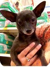 Chihuahua Dog for adoption in Mesa, Arizona - Henny Penny