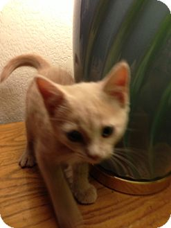 Domestic Shorthair Kitten for adoption in Fountain Hills, Arizona - CLARK