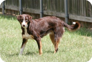Border Collie Mix Dog for adoption in Lufkin, Texas - Coco
