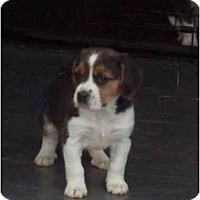 Adopt A Pet :: Chunk-a-Dunk - cedar grove, IN