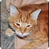 Adopt A Pet :: SUGAR - Alamogordo, NM
