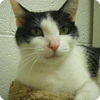 Domestic Shorthair Cat for adoption in East Smithfield, Pennsylvania - Bella Ritz