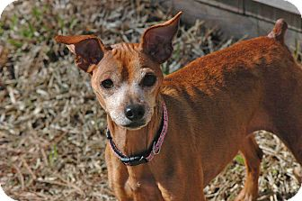 Miniature Pinscher Dog for adoption in Virginia Beach, Virginia - Nina