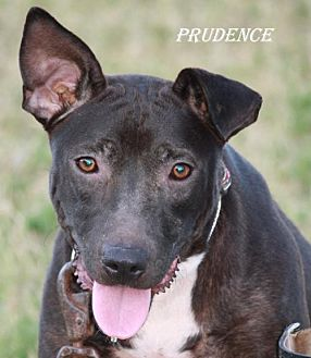 Staffordshire Bull Terrier Dog for adoption in Lone Oak, Texas - Prudence