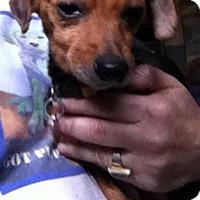 Adopt A Pet :: Teenie - Memphis, TN